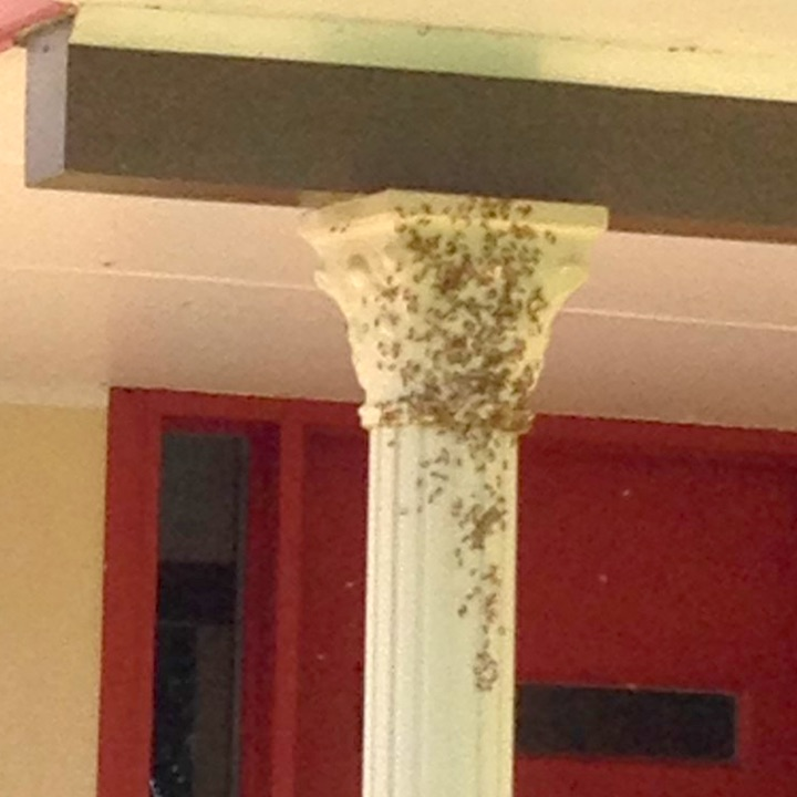 yellow paper wasps under porch
