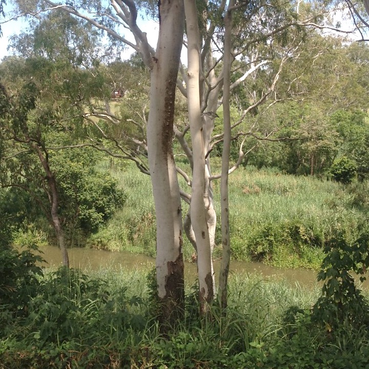 Eucalypts on river bank