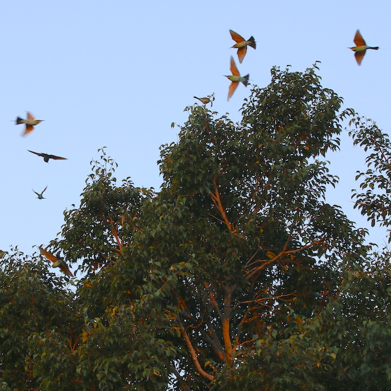 Rainbow-bee-eaters in flight
