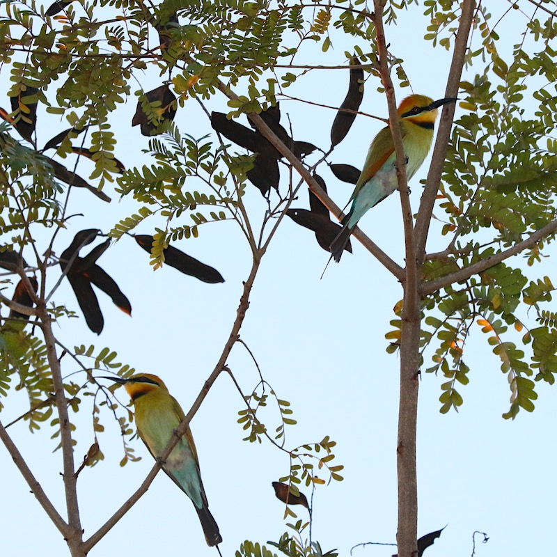 Rainbow-bee-eaters perched