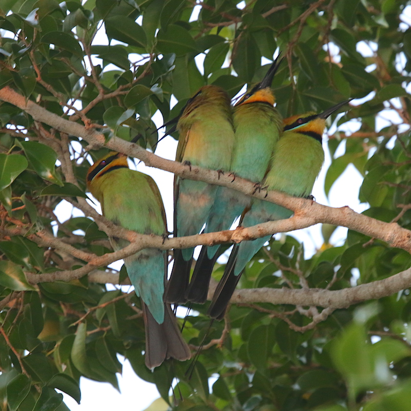 Rainbow-bee-eaters roosting