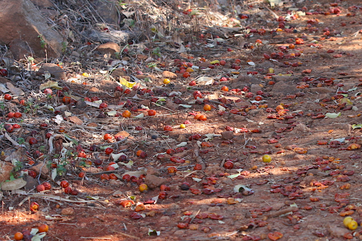 Chinee Apple fruit on the ground
