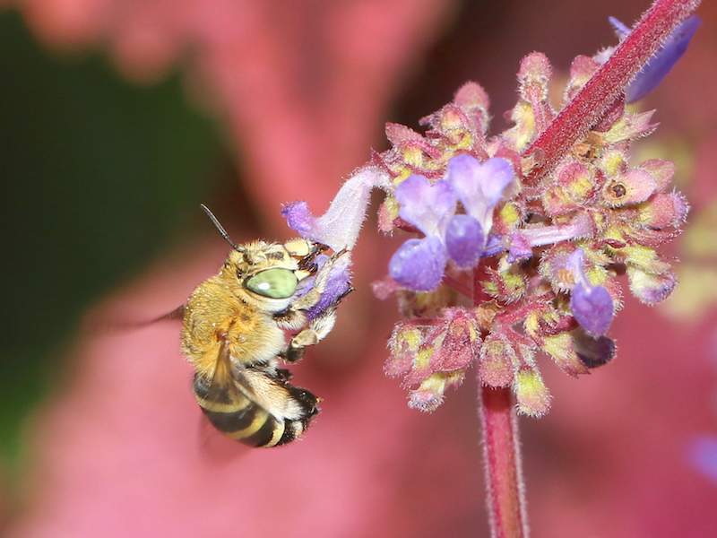 blue-banded bee on flower