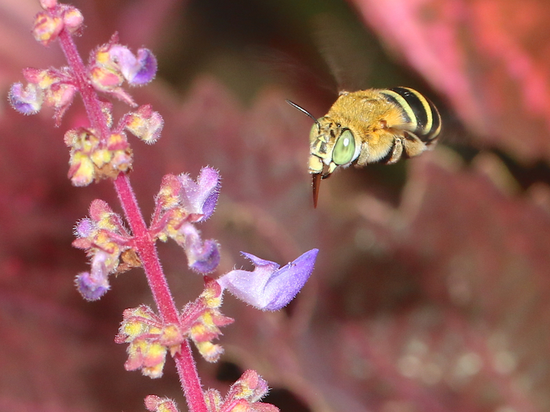 blue-banded bee in flight