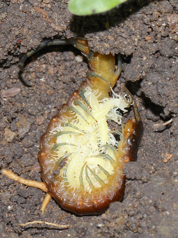 centipede with hatchlings