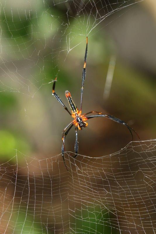 Golden orb-weaver repairing web