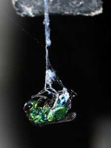picture of cuckoo wasp caught in spider web