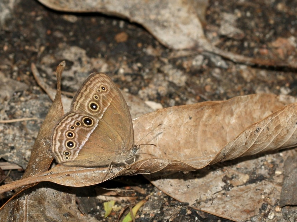 Dingy Bush-brown butterfly