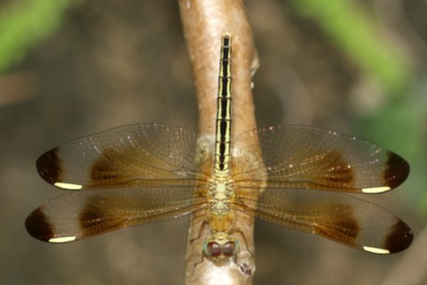 Dragonfly - gold body, dark wingtips