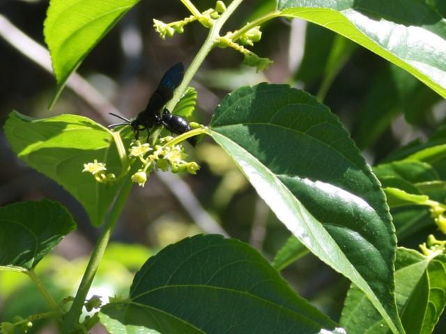 Black wasp on flowering shrub