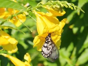 Glasswing butterfly feeding on yellow flower