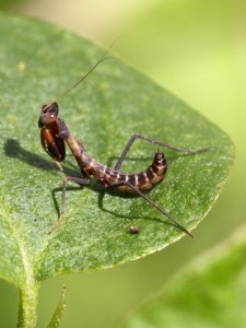 Brown mantis nymph