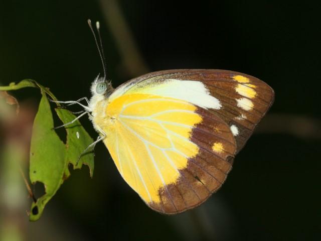 Caper Gull butterfly