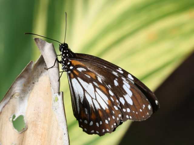 Marsh Tiger butterfly, wings closed