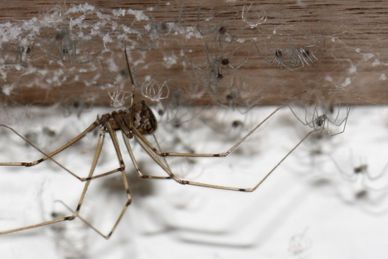 Daddy long-legs spider (Pholcidae) with hatchlings