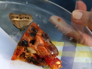 Butterfly, Mycalesis terminus, on fruit cake