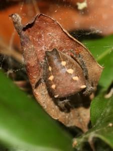Brown spider on dead leaf