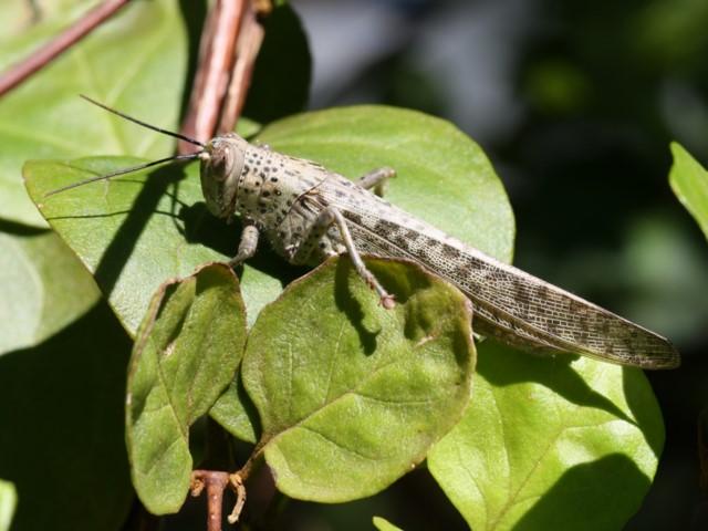 Giant grasshopper resting on leaves