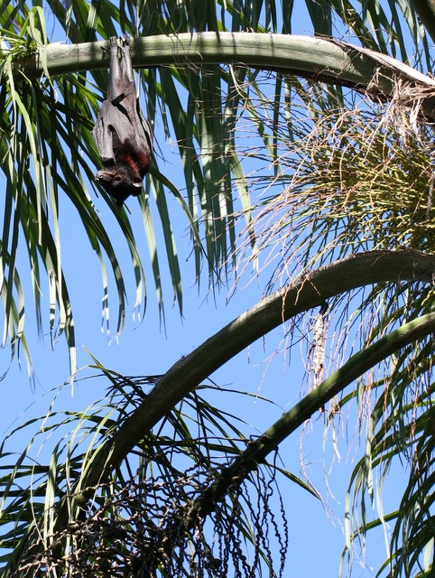 Flying fox in palm tree