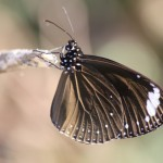 Eastern Brown Crow butterfly