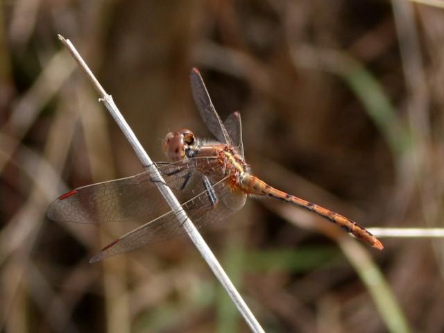 Dragonfly perching on grass stem.
