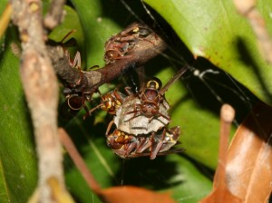 Paper wasp nest in macadamia foliage