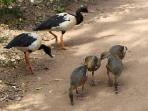 Magpie Geese and Plumed Whistling Ducks