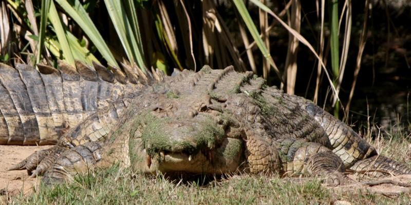 Saltwater Croc - frontal view