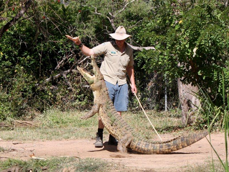Ranger feeding a Saltwater croc