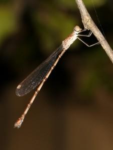 Damselfly perched on macadamia twig