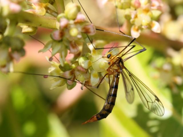 Crane fly on mango blossom