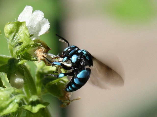 Bright blue and black bee feeding on sweet basil flower