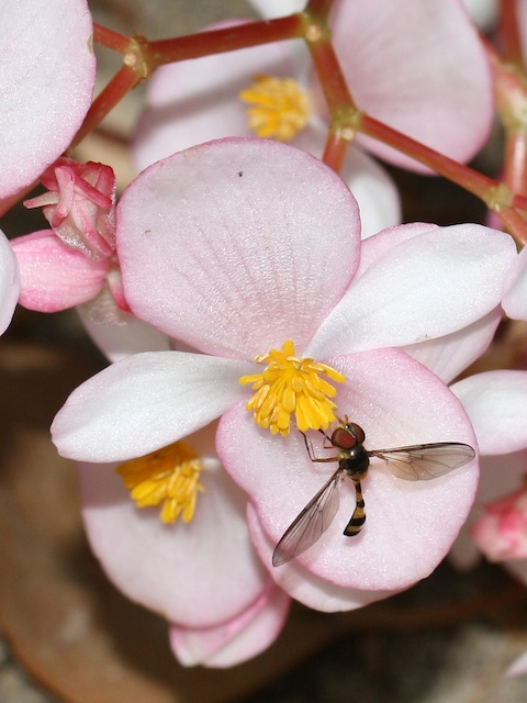 Hover-fly on begonia