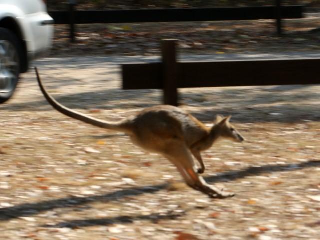 Kangaroo mid-leap