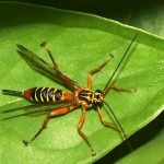 Striped ichneumonid wasp