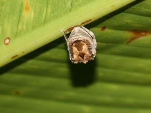 brownish lump hanging under a leaf