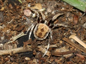 Brown spider on pebbly twiggy dirt.