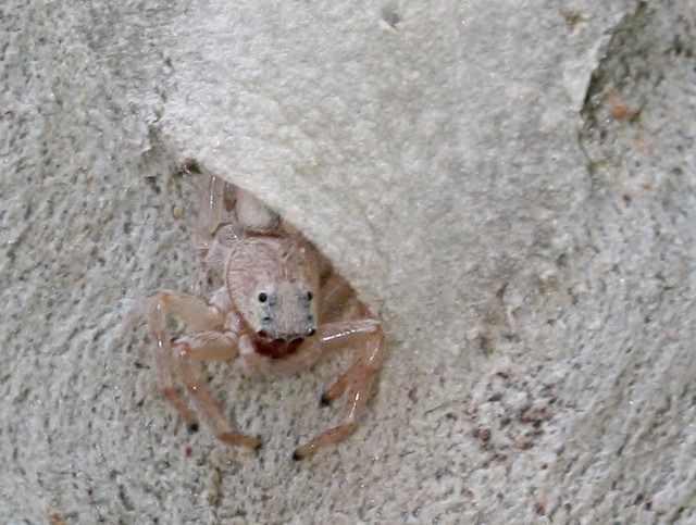 Jumping spider half out of retreat