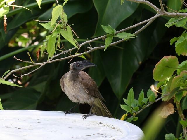 Helmeted Friarbird on edge of birdbath, looking around