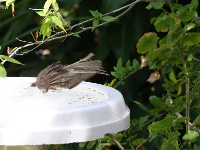 Helmeted Friarbird plunging into birdbath