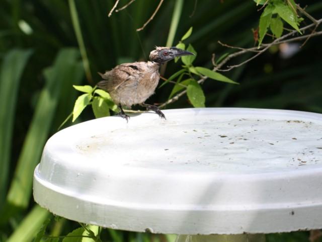Helmeted Friarbird on edge of birdbath