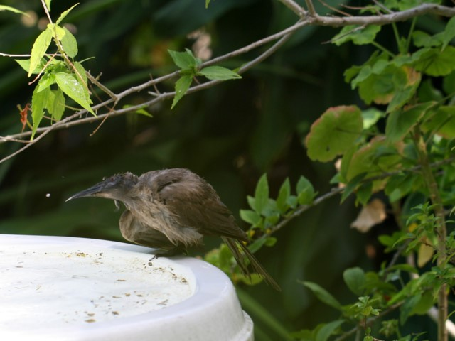 Helmeted Friarbird scratching its head