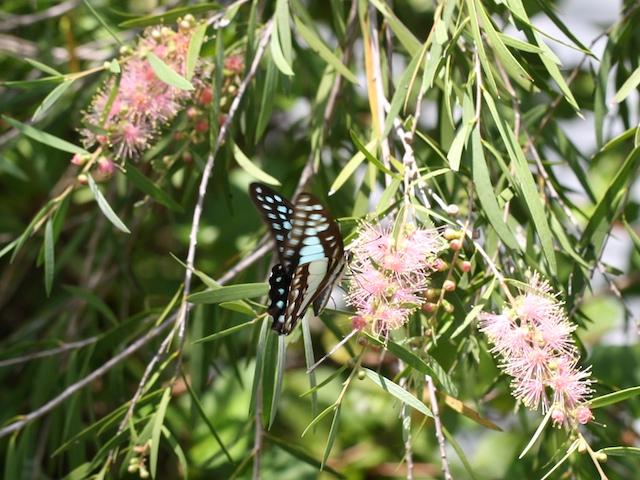 Blue butterfly feeding on pink bottlebrush flower
