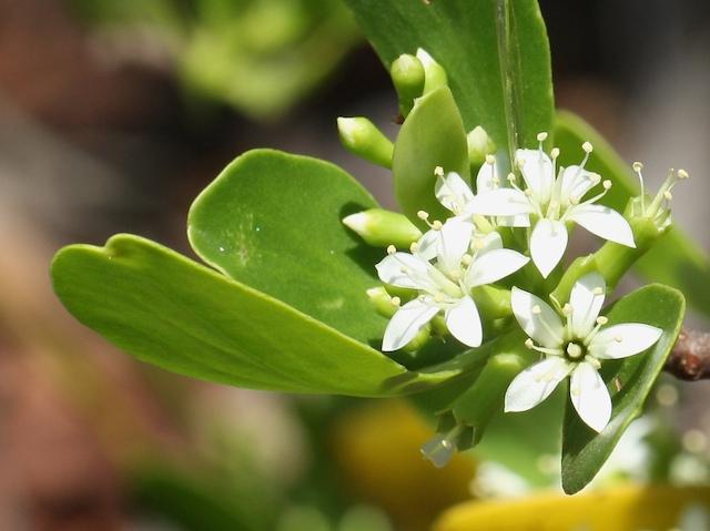 White mangrove flowers