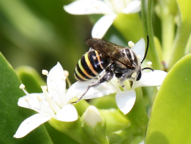 Blue-banded bee on white mangrove flowers