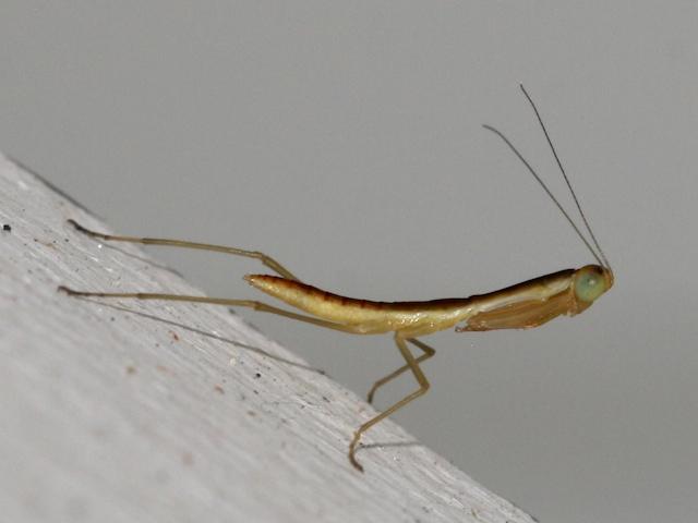 very young praying mantis