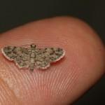 brown moth on fingertip