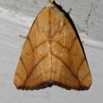 amber moth with 'W' markings