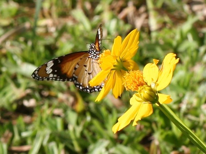 Orange butterfly on yellow flowers