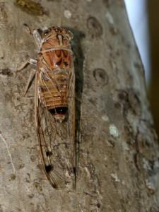 Brown Cicada on Frangipani trunk